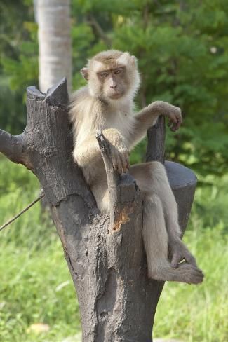 Baby Macaque Monkey, Coconut Plantation, Ko Samui, Thailand Photographic Print