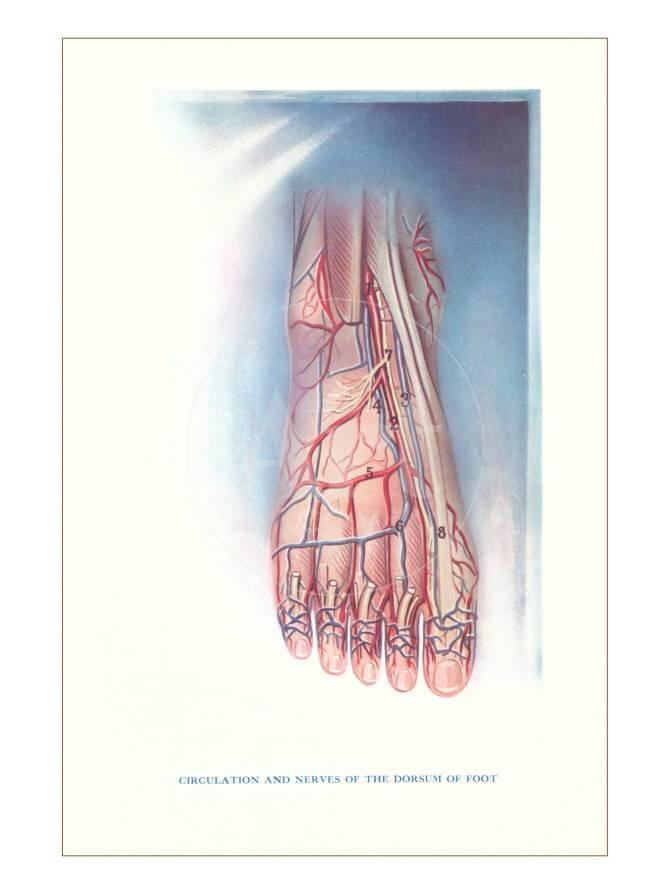 Circulation And Nerves Of Dorsum Of Foot Prints Allposters