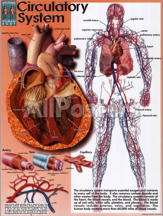 Circulatory System Posters At Allposters