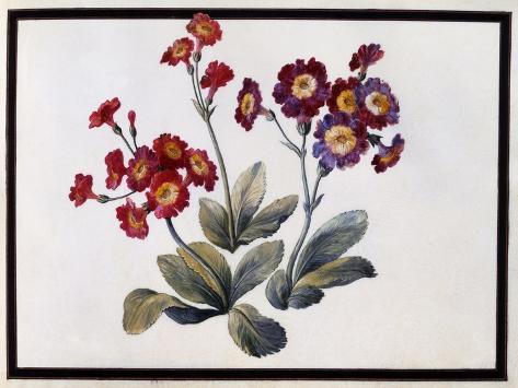 Auricula, C.1690 Lámina giclée