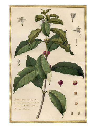 Jasminum Arabicum Giclee Print