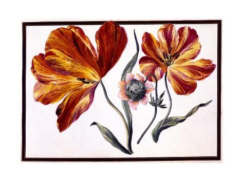 Tulips and Anenome, C.1690 Lámina giclée