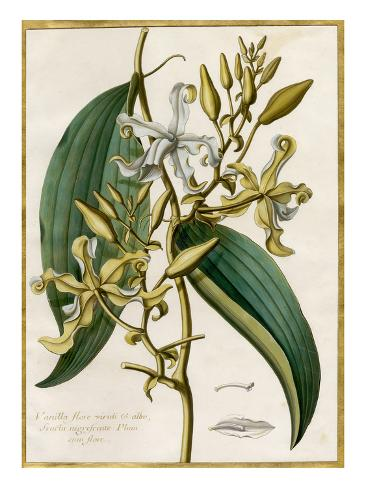 Vanilla flore viridi et albo Giclee Print