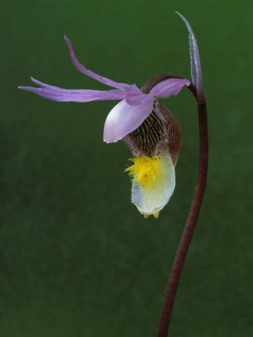 Calypso Orchid, Wilderness State Park, Michigan, USA Photographic Print