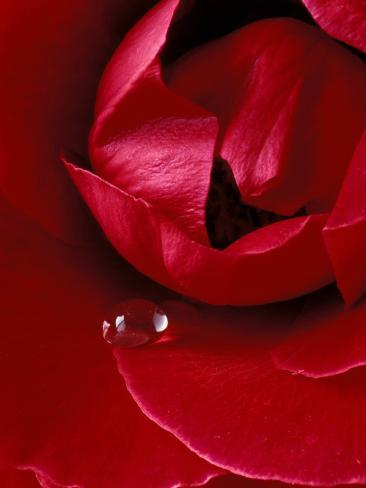 Red Rose, American Beauty, with Tear Drop, Rochester, Michigan, USA Photographic Print