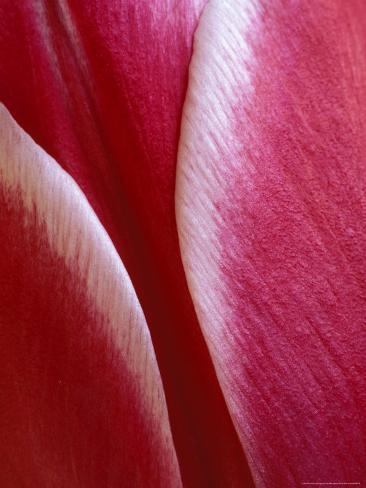 Tulip Detail, Rochester, Michigan, USA Photographic Print