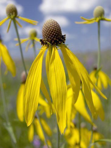 Yellow Coneflower (Ratibida Pinnata), Hayden Prairie State Preserve, Iowa, USA Photographic Print
