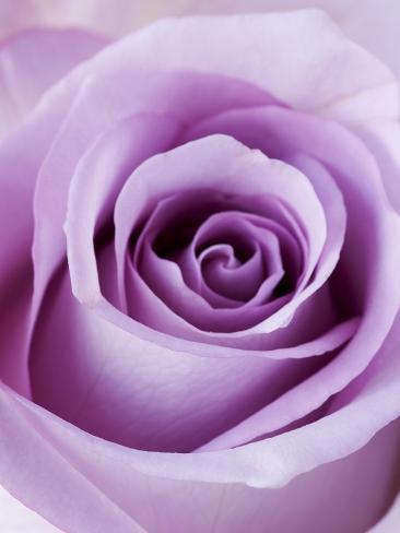 Light purple rose photographic print by clive nichols allposters light purple rose voltagebd Choice Image