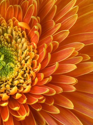 Orange Gerbera Daisy Photographic Print