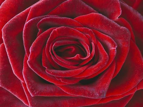 Rosa \'Baccara\' Hybrid Tea Rose Photographic Print by Clive Nichols ...