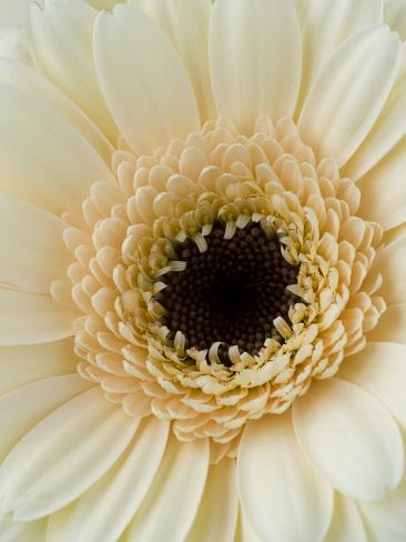 White Gerbera Daisy Photographic Print