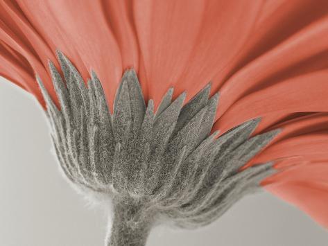 close up image of a gerbera daisy Photographic Print
