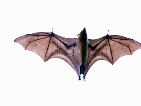 Close-Up of a Madagascan Flying Fox Bat, Berenty, Madagascar Photographic Print