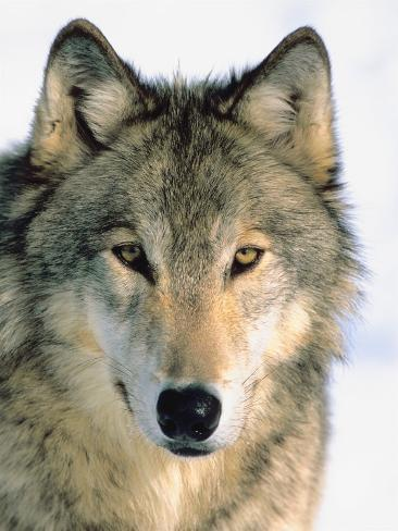 Close Up of Gray Wolf Head in Nature Photographic Print ...