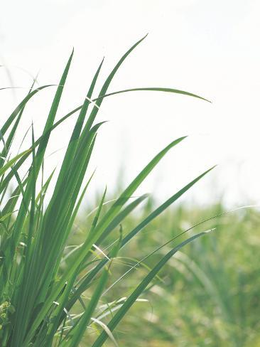 Close-up of Green Blades of Grass Photographic Print