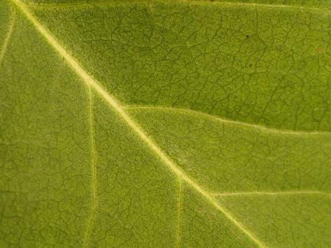Close-Up of Leaf During Spring with Veins and Random Patterns Valokuvavedos