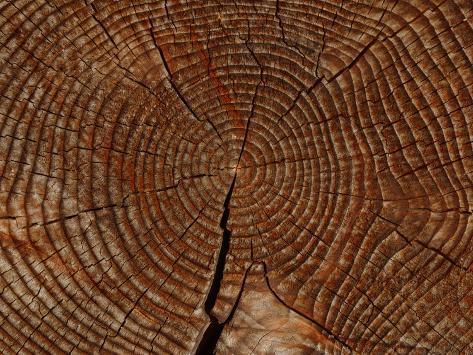 オールポスターズの close up of the rings and cracks of texture on a
