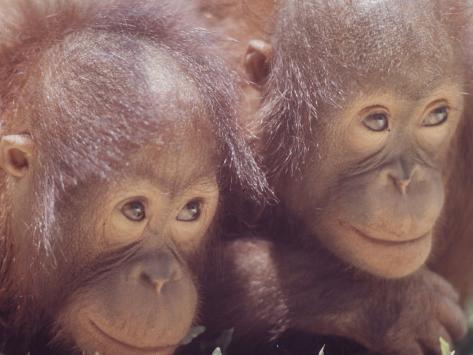 Orangutans in Captivity, Sandakan, Soabah, and Malasia, Town in Br. North Borneo Photographic Print