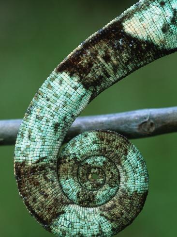 Coiled Prehensile Tail of a Parson's Chameleon Photographic Print