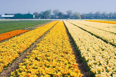 Colorful Fields with Small Tulips Stampa fotografica