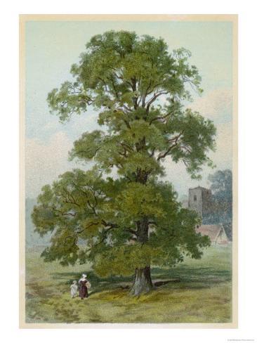 Common Elm Lámina giclée