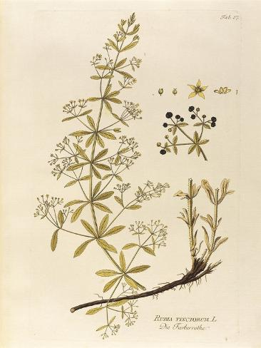Common Madder (Rubia Tinctorum) by Joseph Jacob Plenck, 1794 Stampa giclée