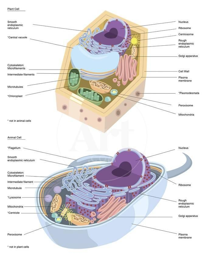 Comparative Illustration Of Plant And Animal Cell Anatomy With