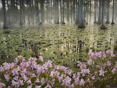 Bald Cypress Swamp In Fog Cypress Gardens Moncks Corner South Carolina Usa Photographic