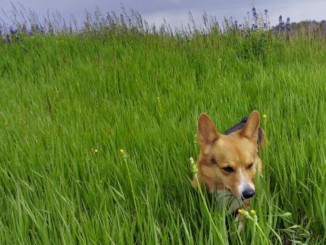 Corgi in Meadow Stretched Canvas Print