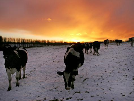 Cows Walk in a Snow Covered Field as Sunset Falls Photographic Print