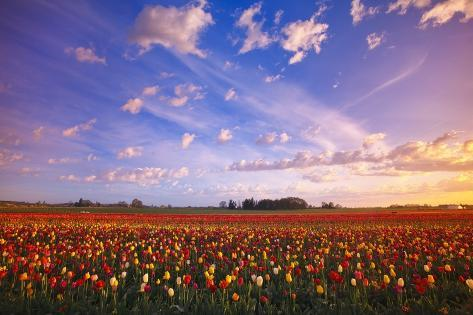 Beautiful Sunrise over Tulip Field Valokuvavedos