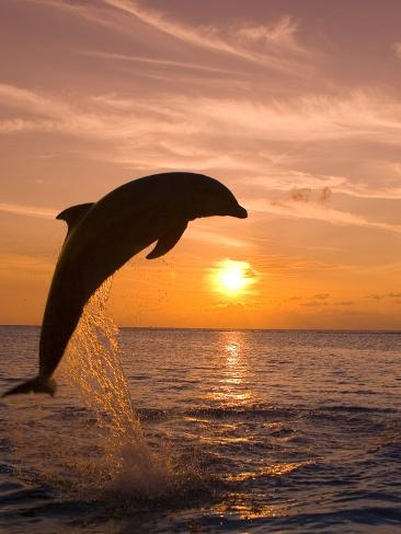 Bottlenosed Dolphin Leaping at Sunset Photographic Print