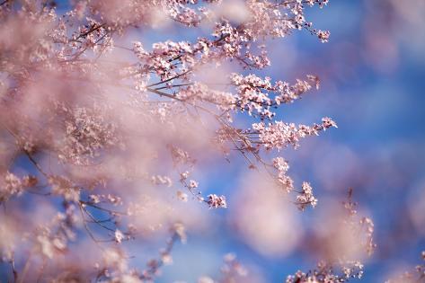 Closeup of Cherry Blossoms on Tree Valokuvavedos