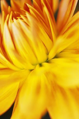 Dahlia Flower Valokuvavedos