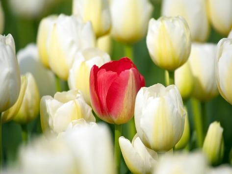 Red tulip in a field of white tulips Photographic Print