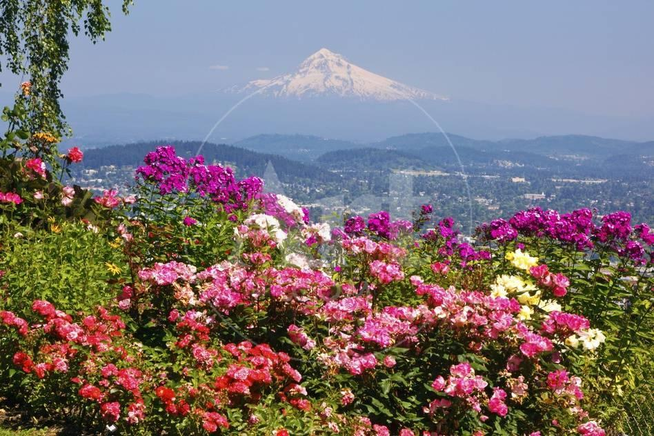 Rose Garden Adds Beauty To Mt Hood From Pittock Mansion Portland