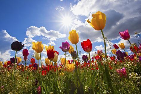 Tulip Fields, Wooden Shoe Tulip Farm, Woodburn Oregon, United States Lámina fotográfica