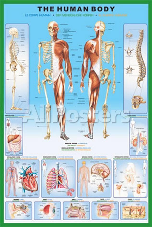 Cuerpo humano, El Láminas en AllPosters.es