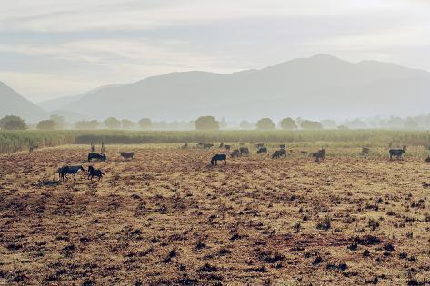 Livestock on a Farm Land near Jacmel, Haiti Photographic Print