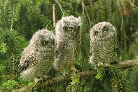 Three Baby Screech Owls Photographic Print