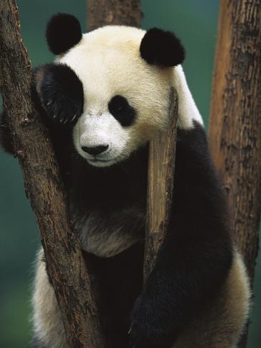Giant Panda (Ailuropoda Melanoleuca) Endangered, of a Young Panda in a Tree Photographic Print