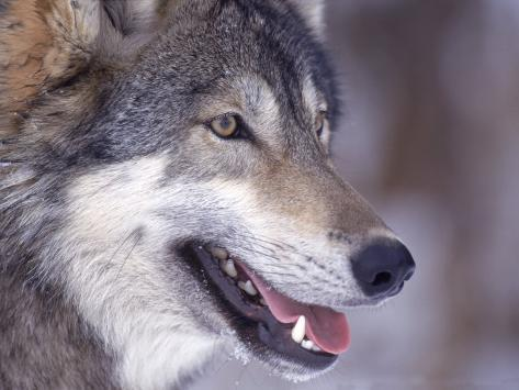 Close-up of a Wolf, Canis Lupus Photographic Print
