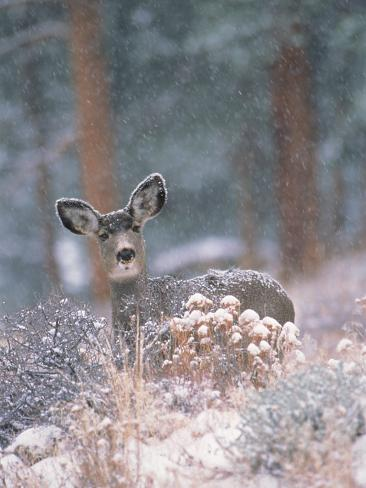 Deer in Winter Forest Photographic Print