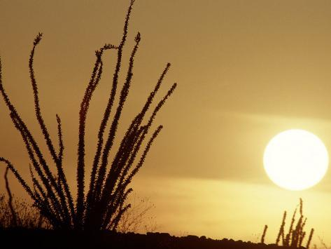 Desert Sunset with Ocotillo, CA Photographic Print