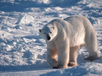 Polar Bear, Manitoba, Canada Photographic Print by D ...
