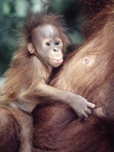 Sumatran Baby Orangutan, Pongo Pygmaeus, Indonesia Photographic Print