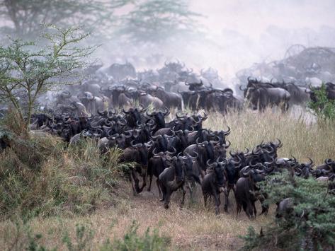 Wildebeests Migrating, Tanzania Photographic Print
