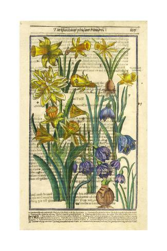 Daffodils, Narcissus, and Jonquils Art Print