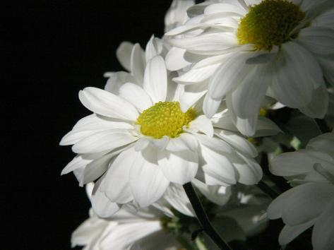 Daisy Flower Photographic Print