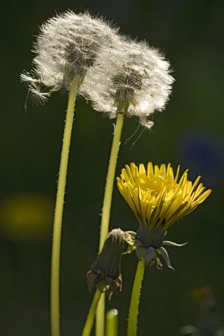 Dandelion Flowers and Seed-Heads (